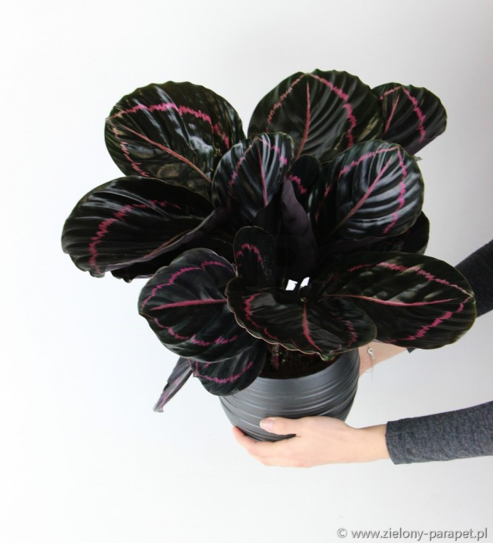 Calathea 'Black Lipstick'
