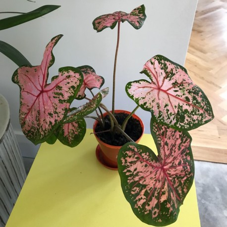Caladium 'Pink Beauty'