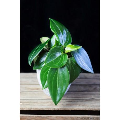 Peperomia maculosa 'Smaragd'