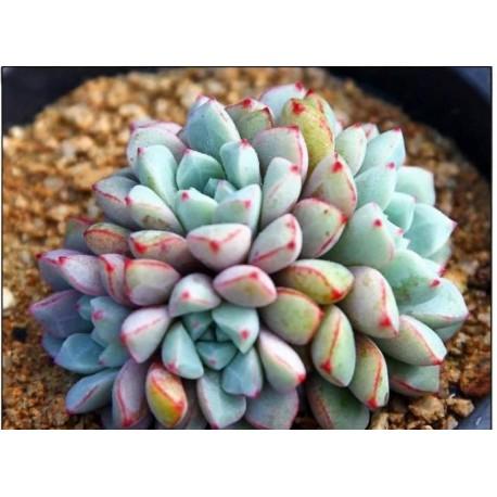 Echeveria subcorymbosa Eszeweria