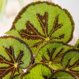 PRZECENA 30% Begonia massoniana