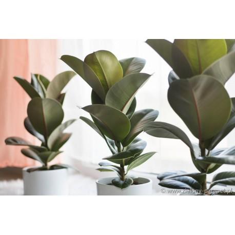 Ficus elastica 'Cloe' Figowiec sprężysty