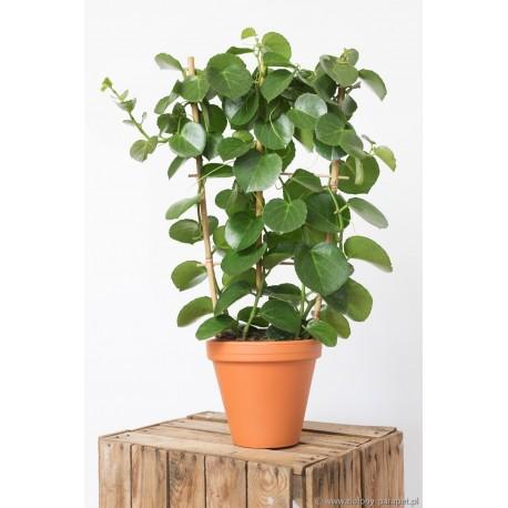 Cissus rotundifolia Cissus cukrowy