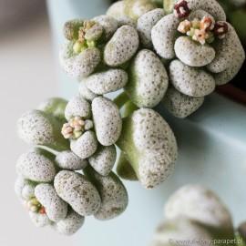 Crassula corallina Grubosz