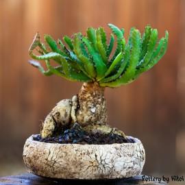 PRZECENA 20% Euphorbia stellata Wilczomlecz