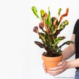Codiaeum variegatum 'Mammi' Kroton