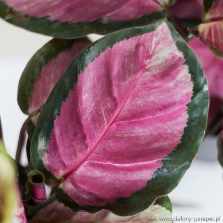 Calathea roseopicta 'Rosy' Kalatea różowokropkowana
