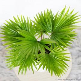 Livistona rotundifolia Livistona okrągłolistna