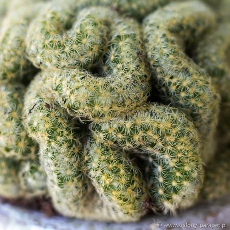 Mammillaria elongata cristata