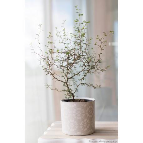 Sophora prostrata 'Little Baby' Perełkowiec drobnolistny