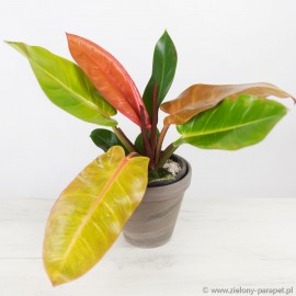 Philodendron 'Prince of Orange' Filodendron