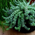 Crassula marnieriana 'Hottentot' Grubosz