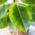 Ficus altissima 'Variegata' Fikus bengalski