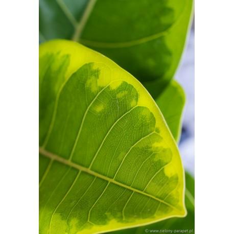 Ficus benghalensis altissima Fikus bengalski