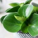 Peperomia obtusifolia Peperomia tępolistna