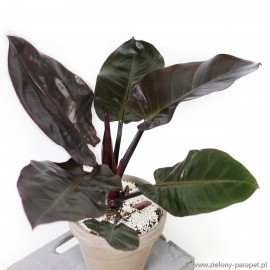 Philodendron 'Black Cardinal' Filodendron