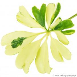 Schefflera arboricola 'Janine' Szeflera drzewiasta