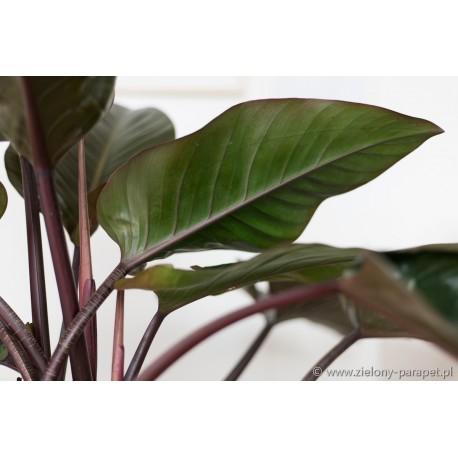 Philodendron 'Congo Red' (Rojo Congo)