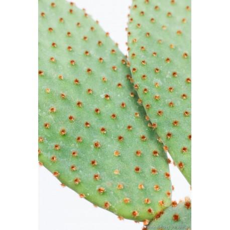 Opuntia microdasys var. rufida