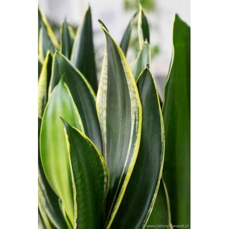 Sansevieria trifasciata 'Diamond Flame'