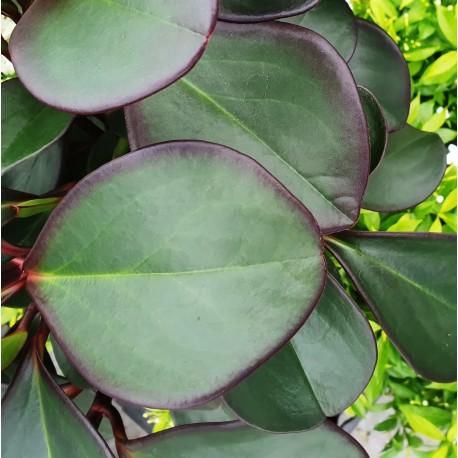 Peperomia obtusifolia 'Burning Bush' Peperomia tępolistna