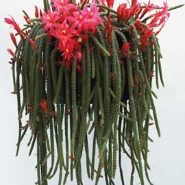 Aporocactus malisonii syn. Disocactus mallisonii Ogon szczura
