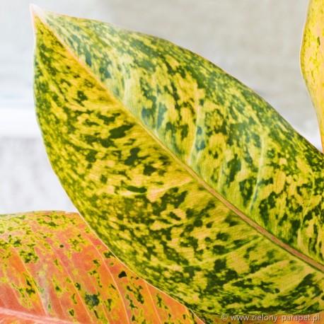 Aglaonema (zielono-żółta)