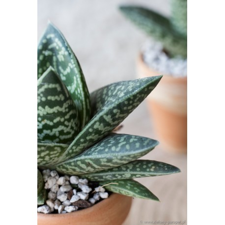 Aloes tygrysi Aloe variegata