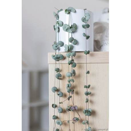 Ceropegia woodii 'Silver Glory'