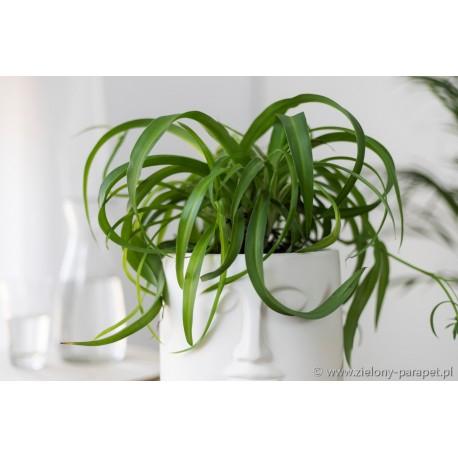 Chlorophytum comosum 'Green Bonnie'