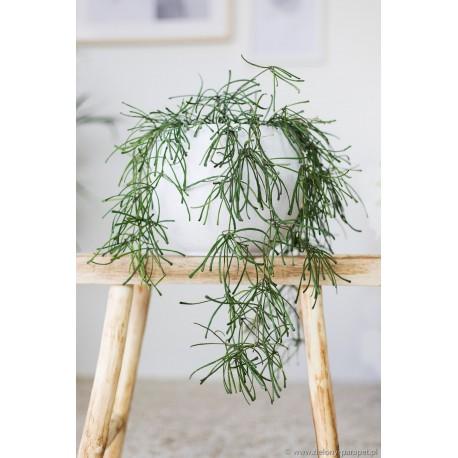 Hoya retusa Woskownica
