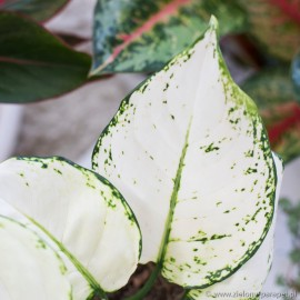 Aglaonema 'Super White'