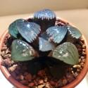 Haworthia springbokvlakensis 'Crystal Ball'