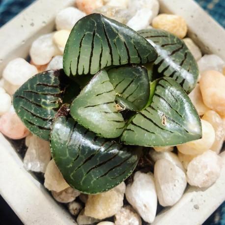 Haworthia crystal ball