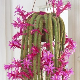 Aporocactus flagelliformis Ogon Szczura