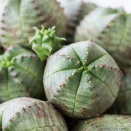 Euphorbia pseudoglobosa Wiczomlecz