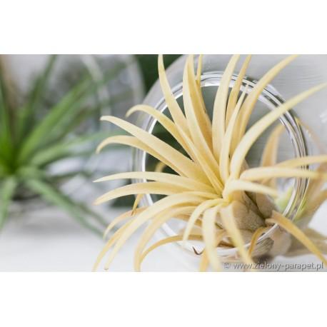 Tillandsia ionantha 'Aurea'
