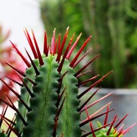 Euphorbia pentagona Wilczomlecz