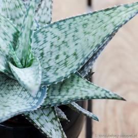 Aloe 'Vincent'