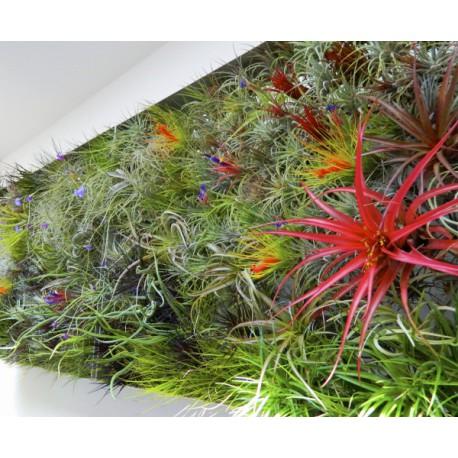 Tillandsia multiflora -oplątwa