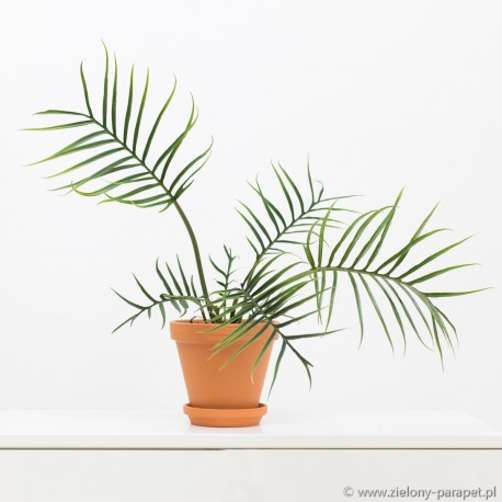Philodendron tortum Filodendron