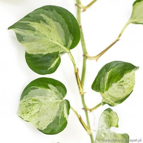 Scindapsus 'Happy Leaf'