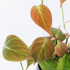 Philodendron scandens 'Micans' Filodendron pnący