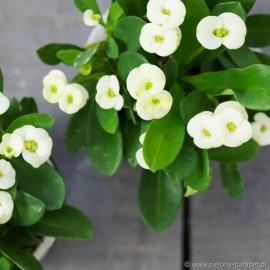 Wilczomlecz okazały 'White' Euphorbia milii
