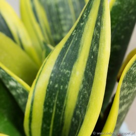 Sansewieria trifasciata 'Twisted Canary'