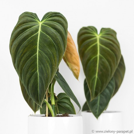 Philodendron melanochrysum