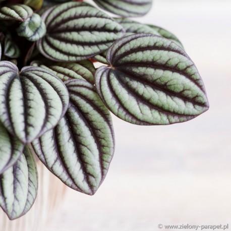Peperomia albovittata 'Piccolo Banda'