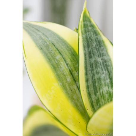 Sansewieria gwinejska 'Golden Hahnii' Sansevieria trifasciata