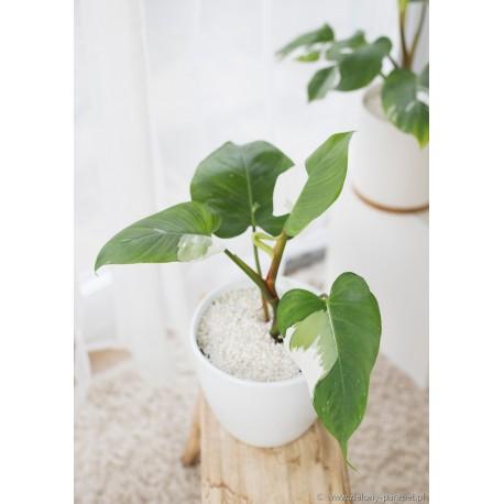 Philodendron 'White Princess' Filodendron