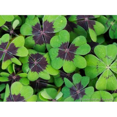Szczawik Deppego Oxalis deppei Oxalis tetraphylla